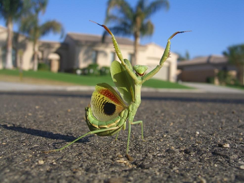 Praying Mantis King Of The World